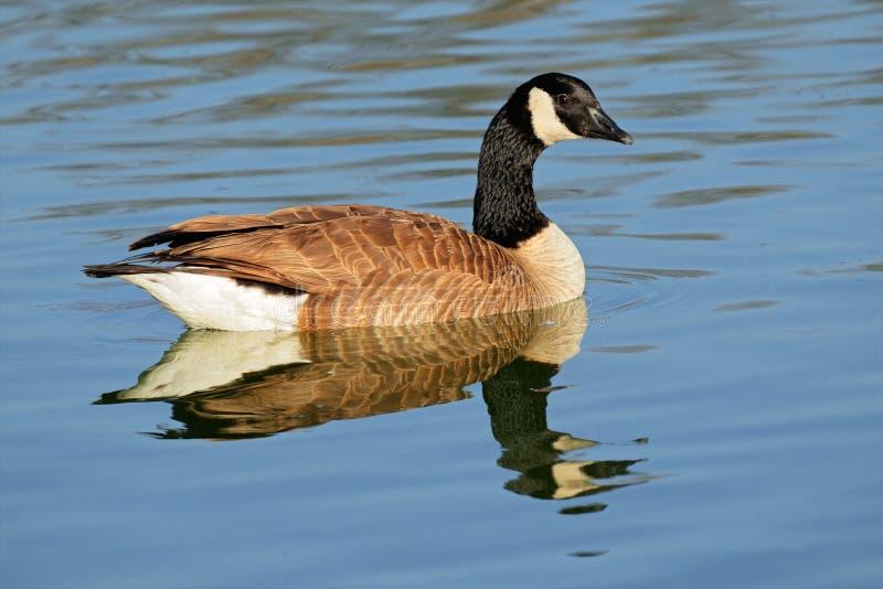 加拿大鹅 免版税图库摄影