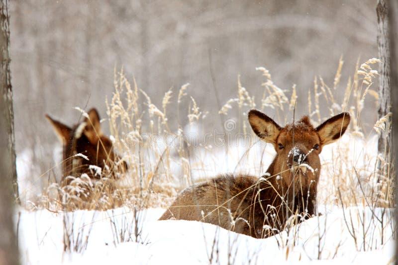 加拿大麋冬天 免版税库存图片