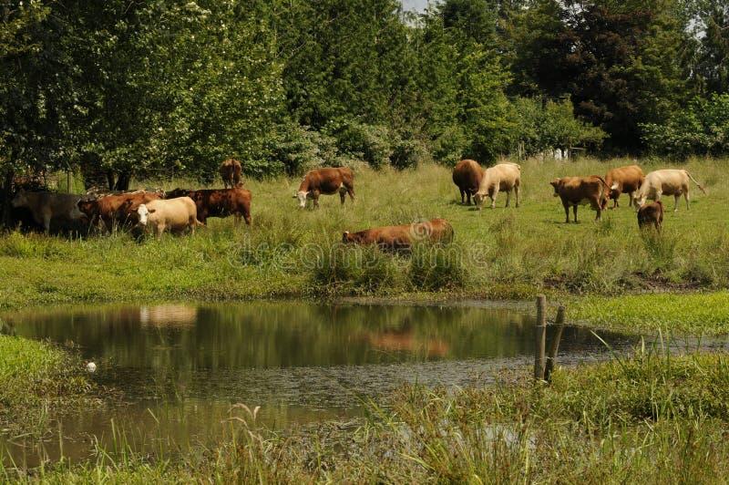 加拿大BC牛牧群 免版税库存图片