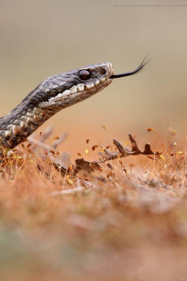 加法器,蝰蛇属berus 免版税图库摄影