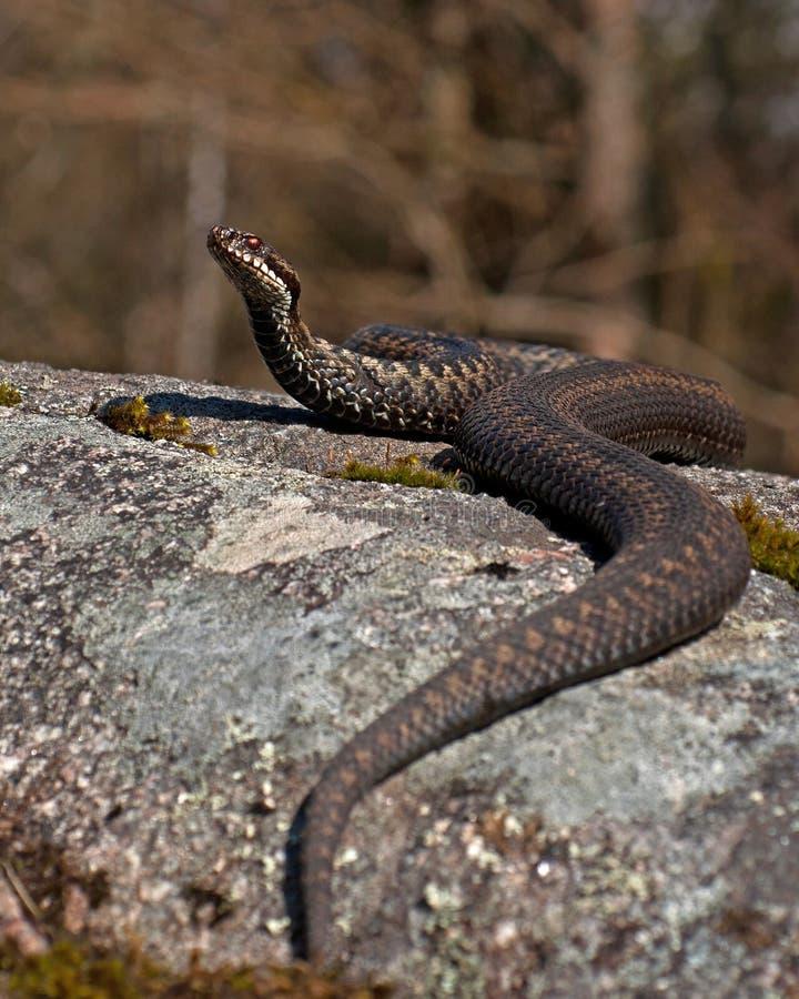 加法器berus欧洲蝰蛇属 库存照片