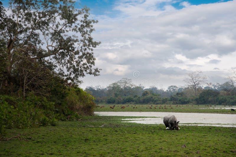 加济兰加国家公园居民  白色犀牛 图库摄影
