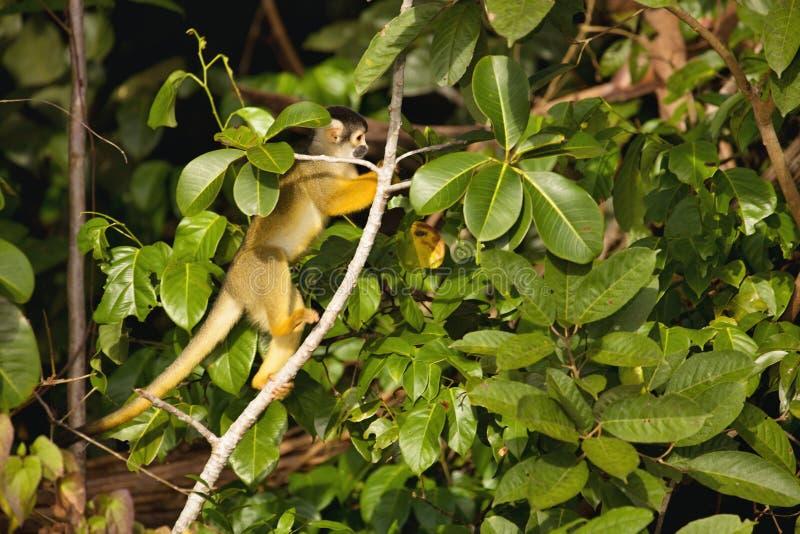黑加盖的灰鼠,松鼠猴属boliviensis,猴子,湖桑多瓦尔,阿马佐尼亚,秘鲁 免版税库存照片