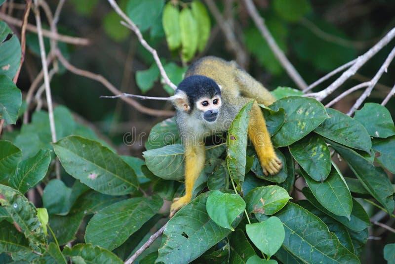 黑加盖的灰鼠,松鼠猴属boliviensis,猴子,湖桑多瓦尔,阿马佐尼亚,秘鲁 免版税图库摄影