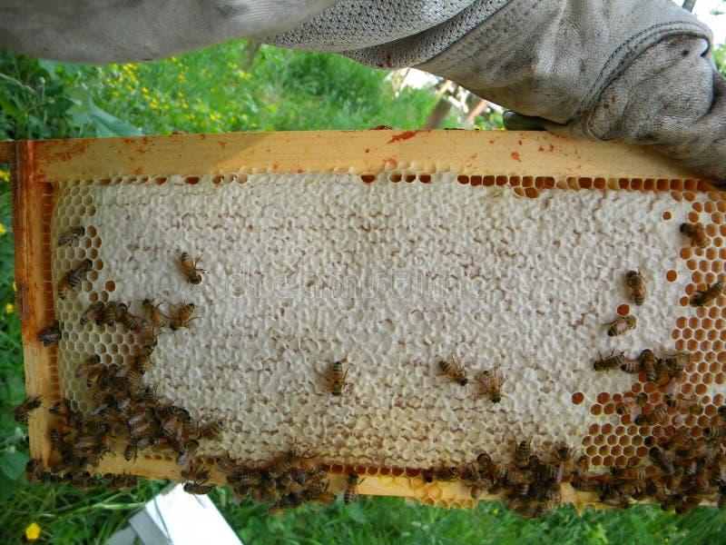 加盖的蜂蜜和花蜜超级框架  免版税库存照片