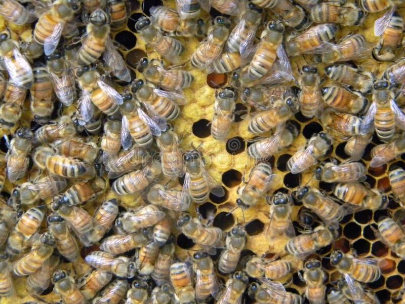 加盖蜂窝的蜂 图库摄影