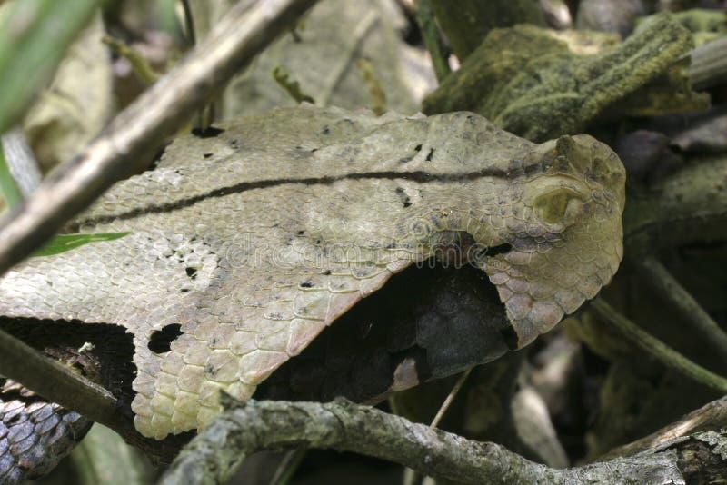 加蓬蛇蝎 库存照片