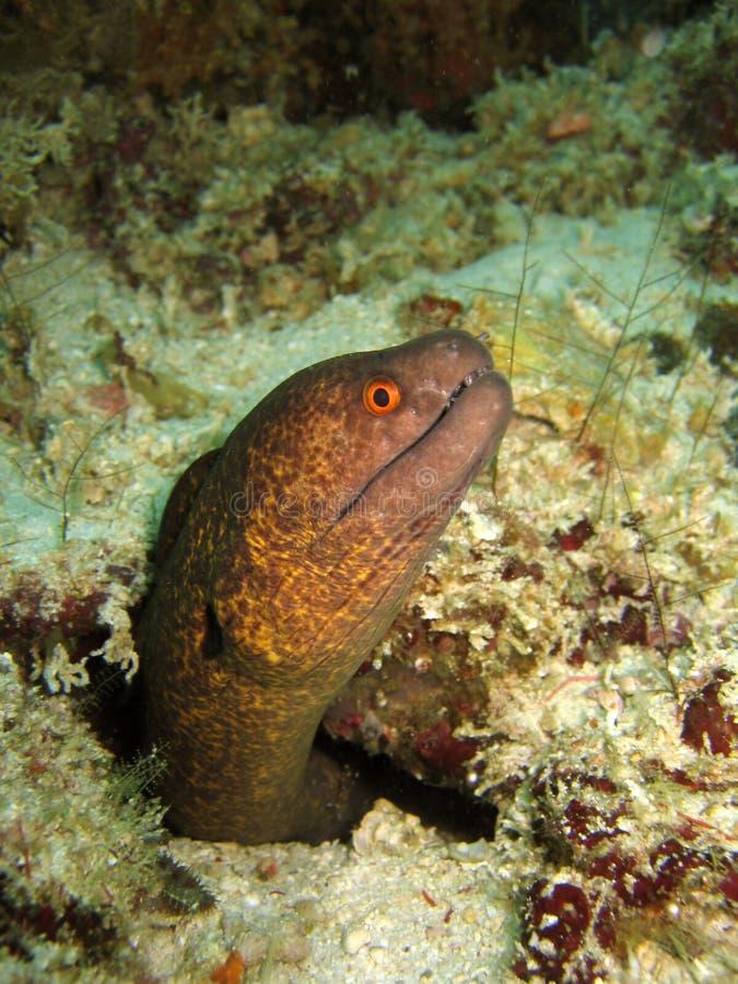 加边缘的海鳗黄色 免版税库存图片