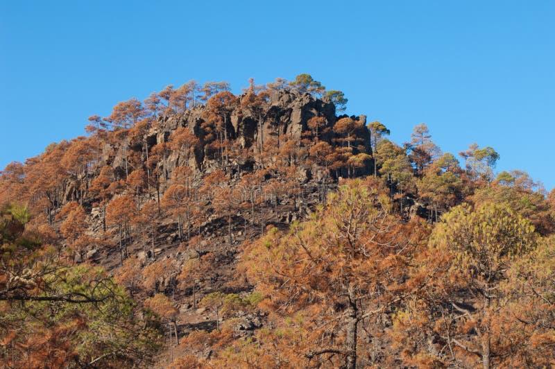 加那利岛松烧成林 库存图片