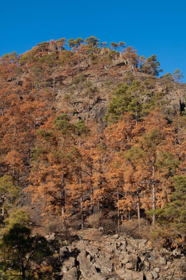加那利岛松烧成林 库存照片