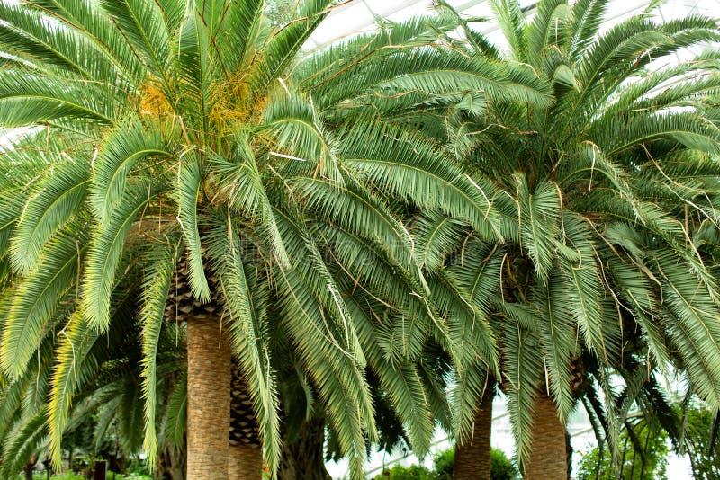 加那利岛枣棕榈树 库存照片