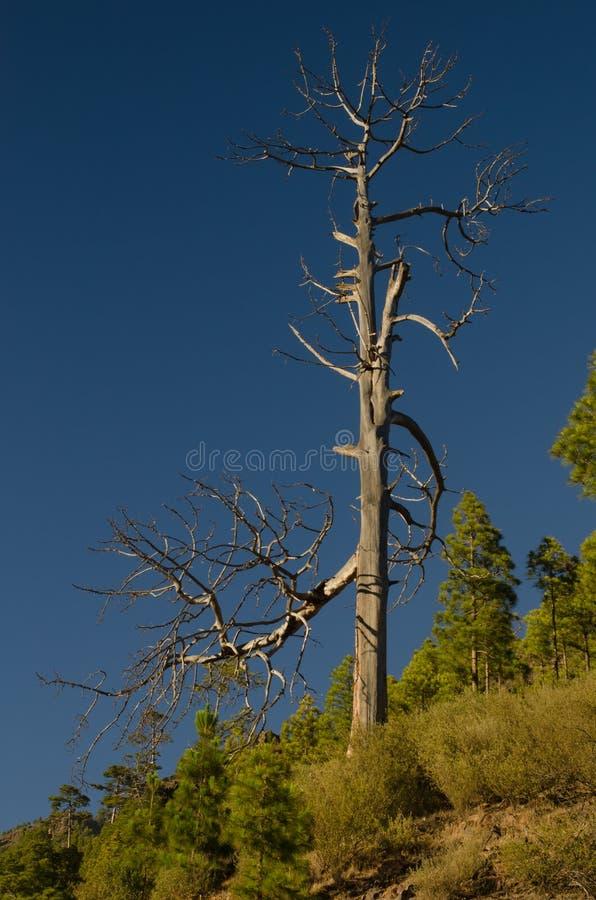 加那利群岛杉木死的树干  免版税库存图片