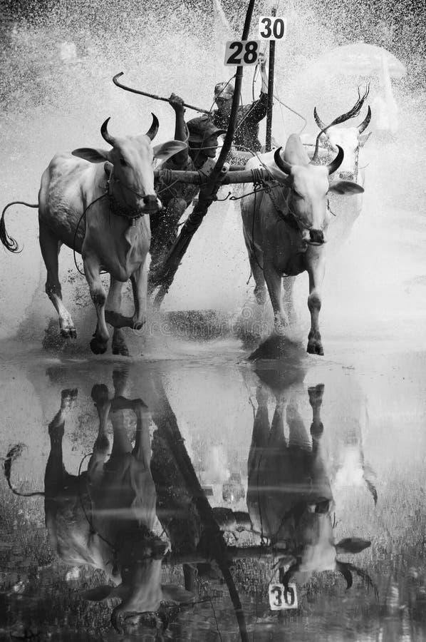 活动体育,越南农夫,母牛种族 免版税库存照片