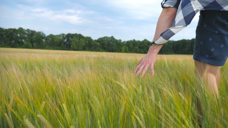 移动在麦子的男性手生长在领域 绿色五谷和人` s草甸在夏天武装感人的种子 人 免版税库存图片