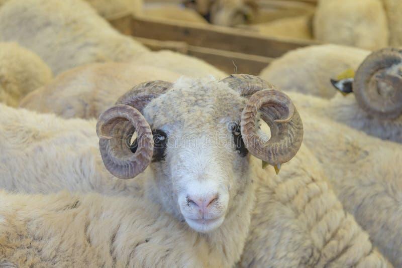 动物为牺牲-土耳其语Kurban Bayrami卖了 免版税库存图片
