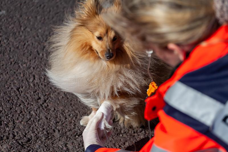 动物军医在狗上把绷带放 图库摄影