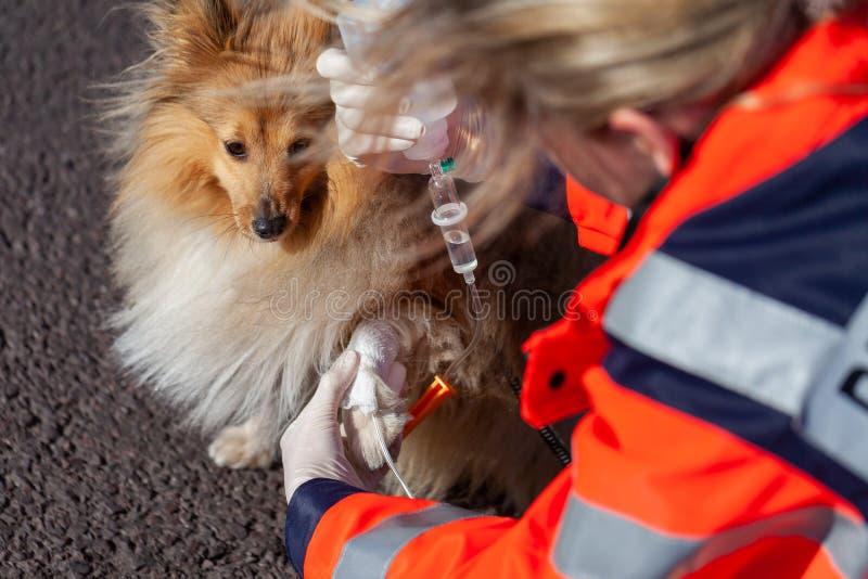 动物军医在狗上把绷带放 免版税库存图片