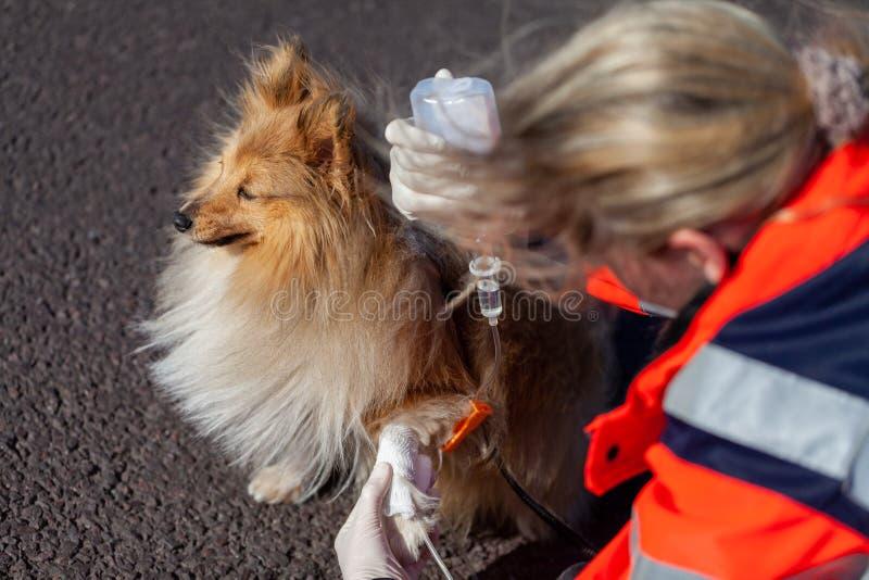 动物军医在狗上把绷带放 库存照片