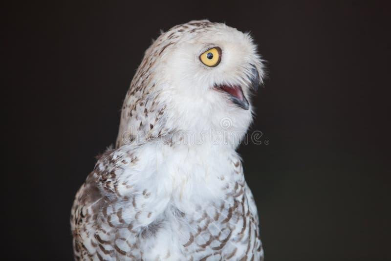 动物区系飞过了用羽毛装饰的鸟斯诺伊猫头鹰俘虏特写镜头 免版税库存照片