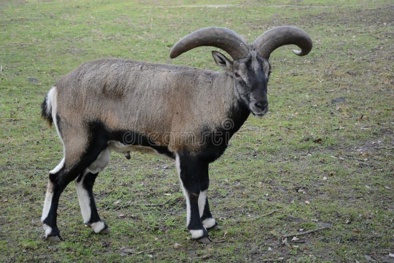 动物区系 敌意 山羊 免版税库存照片