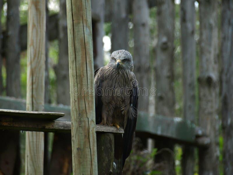 动物园公园Poppi意大利:鹰 图库摄影