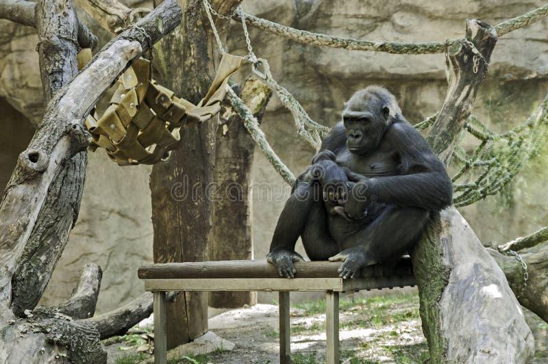 动物园的大猩猩妈妈 免版税库存照片