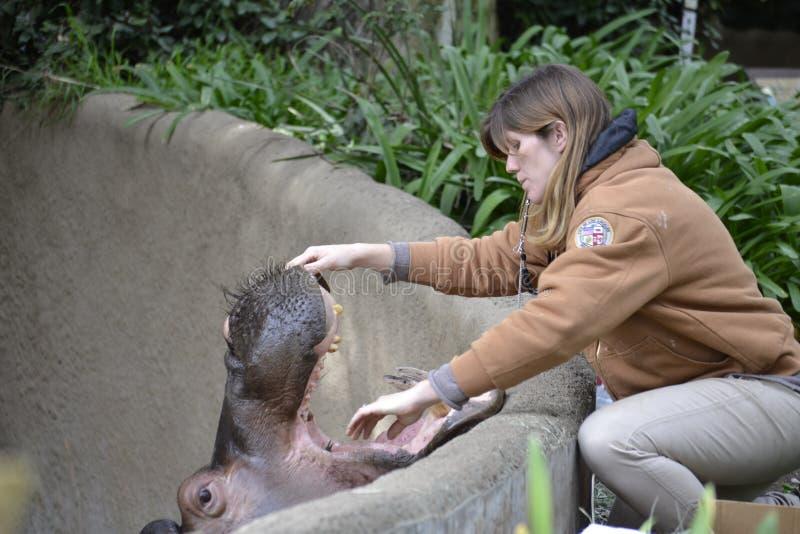 动物园管理员检查河马的嘴牙 免版税图库摄影