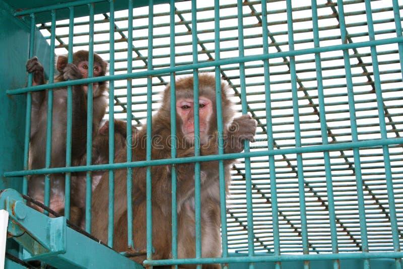 动物园酒吧里的日本猕猴 库存图片