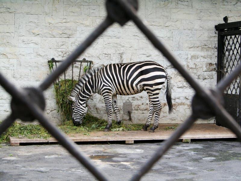 动物园里的斑马 库存图片