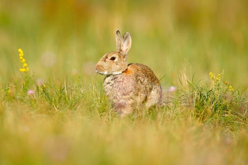 动物在自然栖所,生活在草甸,德国 欧洲的兔子或共同性兔子,穴兔串孔,掩藏在gras 免版税库存图片