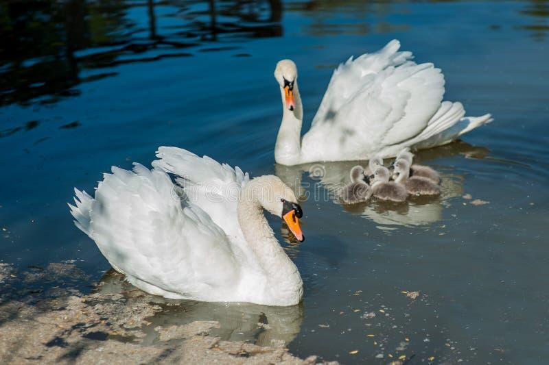 动物天鹅家庭在湖游泳 图库摄影