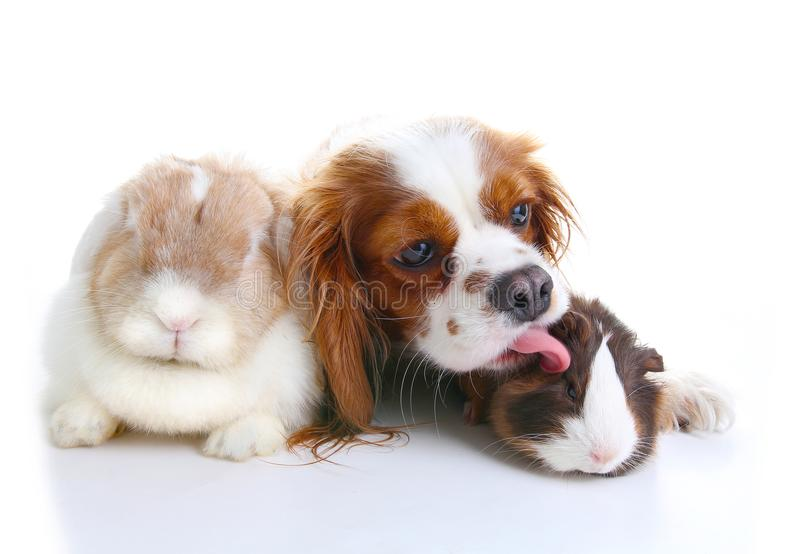 动物朋友 真实的宠物朋友 狗兔子兔宝宝在被隔绝的白色演播室背景一起砍动物 宠物爱 免版税图库摄影