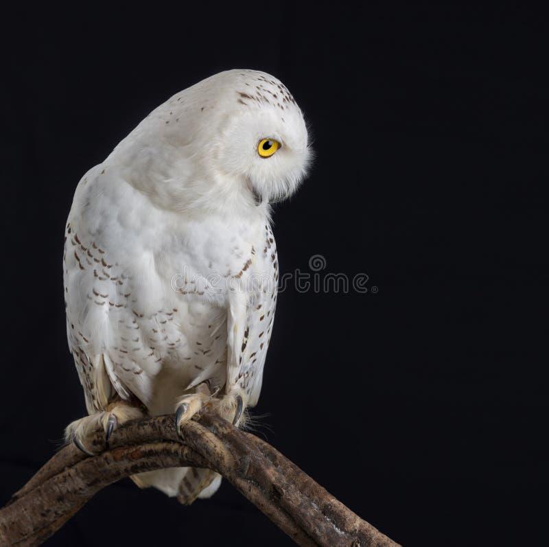 动物标本剥制术斯诺伊猫头鹰 免版税库存图片