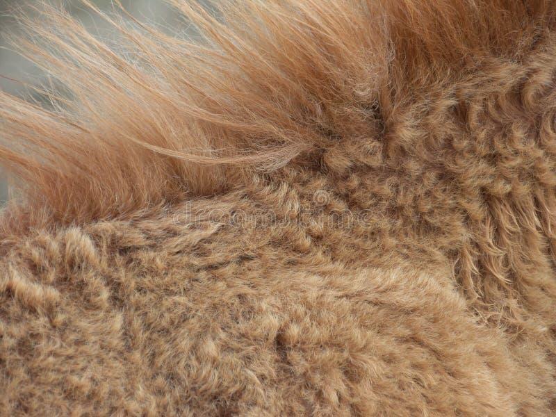 动物棕色金黄鬃毛 免版税库存图片
