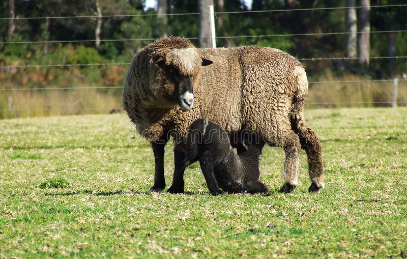 动物母羊羊羔 免版税库存图片