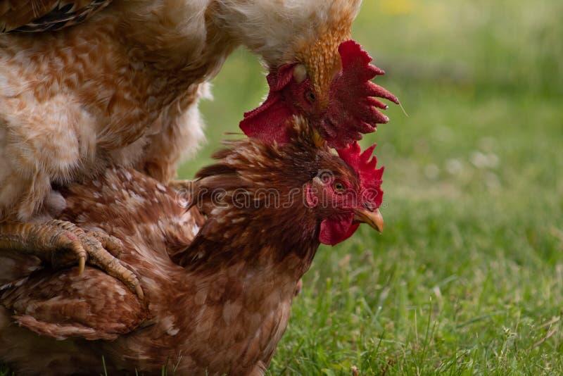 动物爱情故事:热情地联接的雄鸡和母鸡, 库存照片