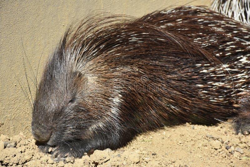 动物特写镜头摄影 睡觉和被加热的豪猪在阳光下 免版税库存照片