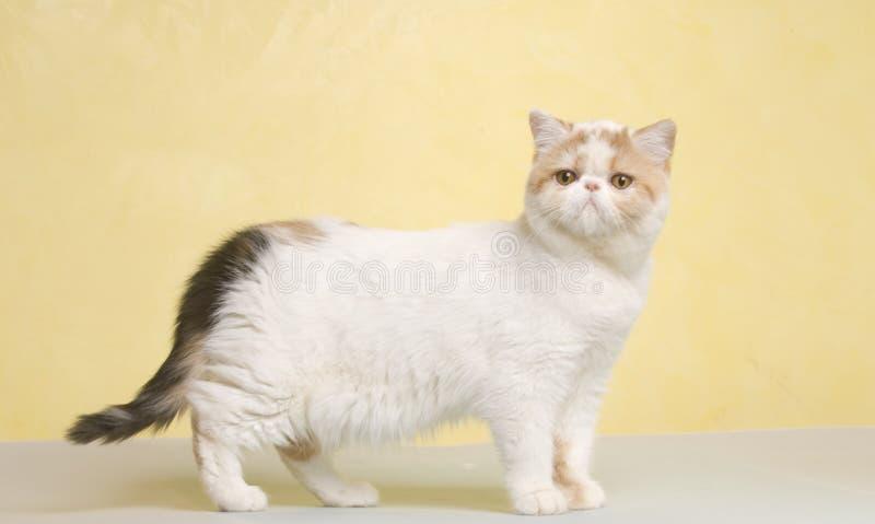 动物猫宠物 免版税库存照片