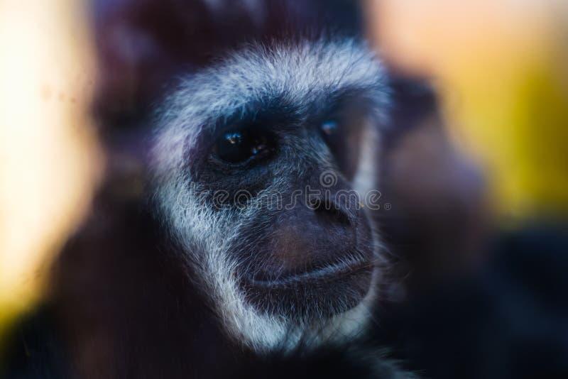 动物猴子长臂猿特写镜头面孔,自然 免版税库存图片