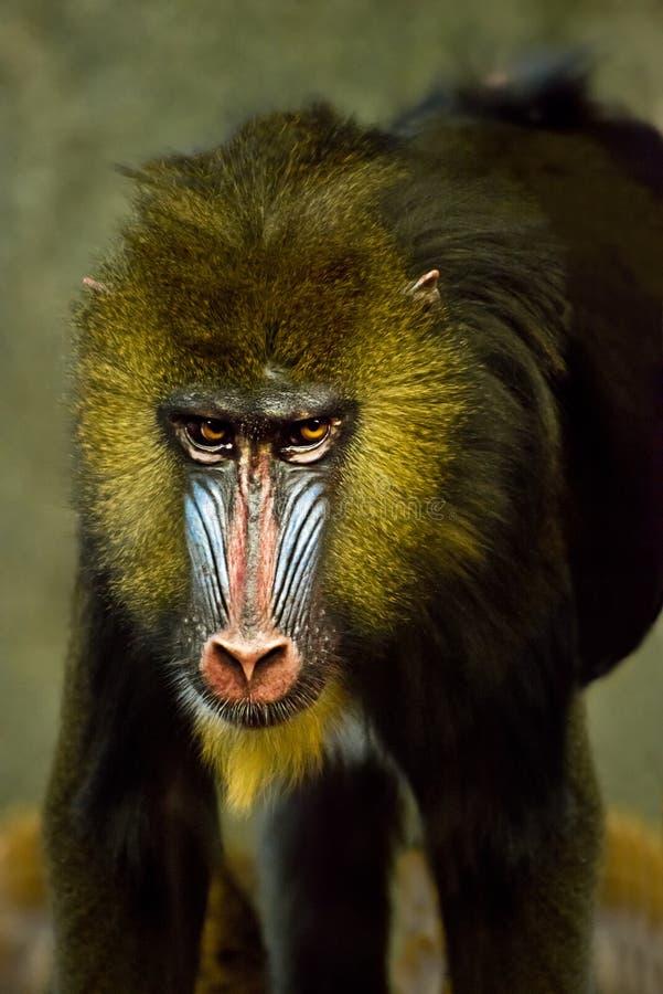 动物猿狒狒mandrill猴子大主教 库存图片