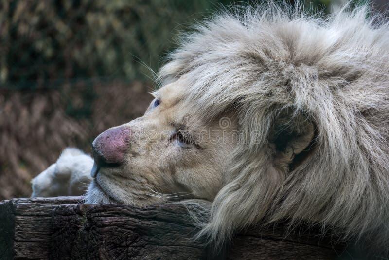 动物的国王画象  免版税库存照片