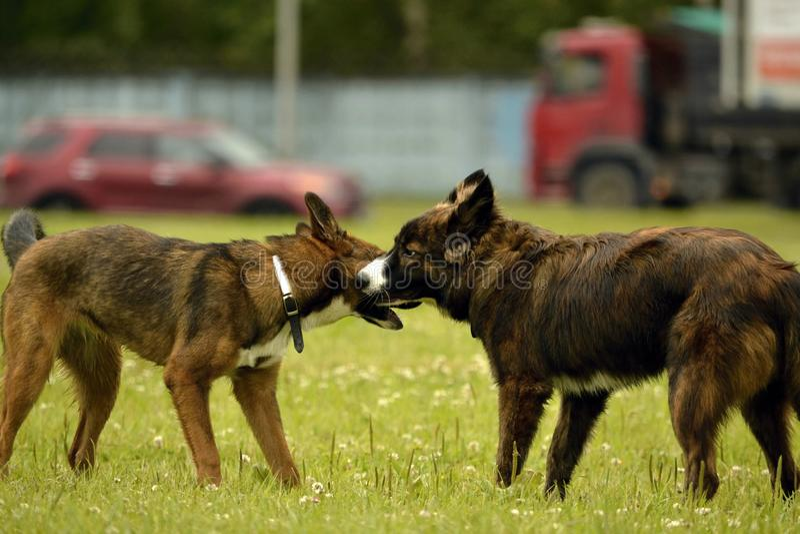 动物的情感 两条幼小狗是朋友 狗之间的互作用 动物的关于行为的方面 免版税库存图片