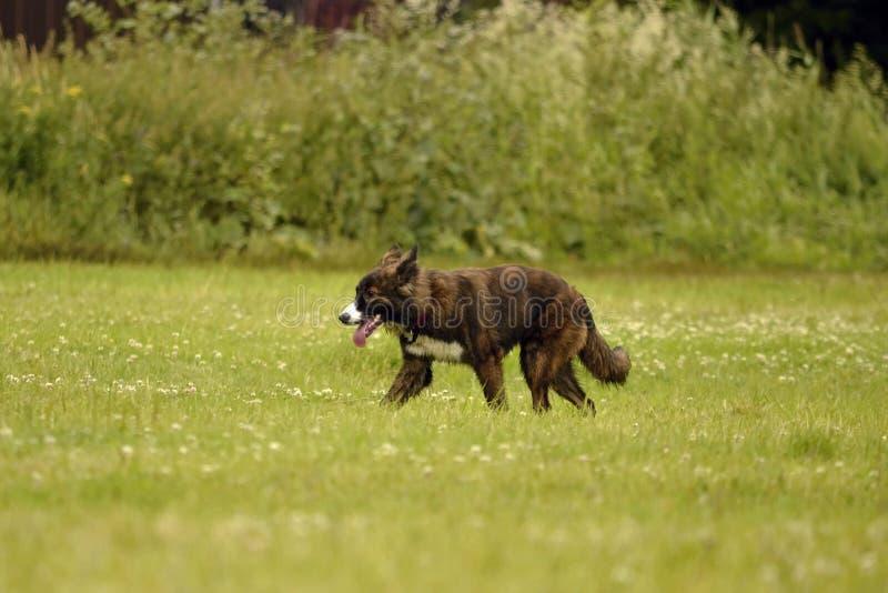 动物的情感 在步行的幼小精力充沛的狗 小狗教育, cynology,幼小狗密集的训练  走的狗  免版税库存图片
