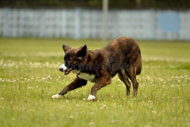 动物的情感 在步行的幼小精力充沛的狗 小狗教育, cynology,幼小狗密集的训练  走的狗  免版税库存照片