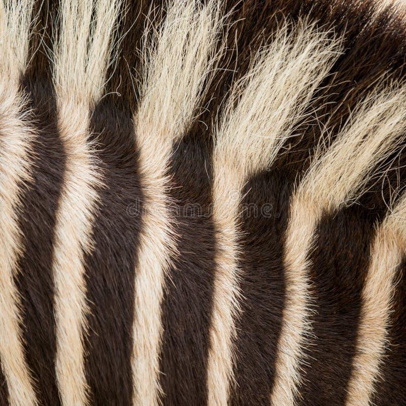 动物皮毛斑马 库存照片