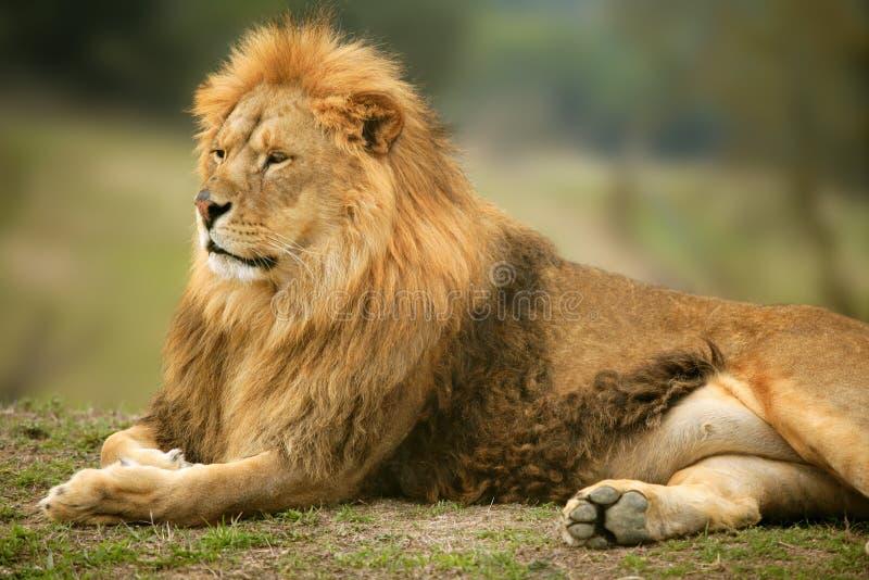 动物美丽的通配狮子男性的纵向 免版税库存照片