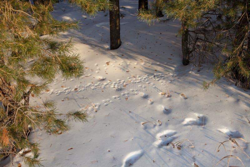 动物踪影在雪的 狼,狐狸,狗,猫在森林爪子的爪子脚印在冬天蓝色雪打印 免版税库存照片