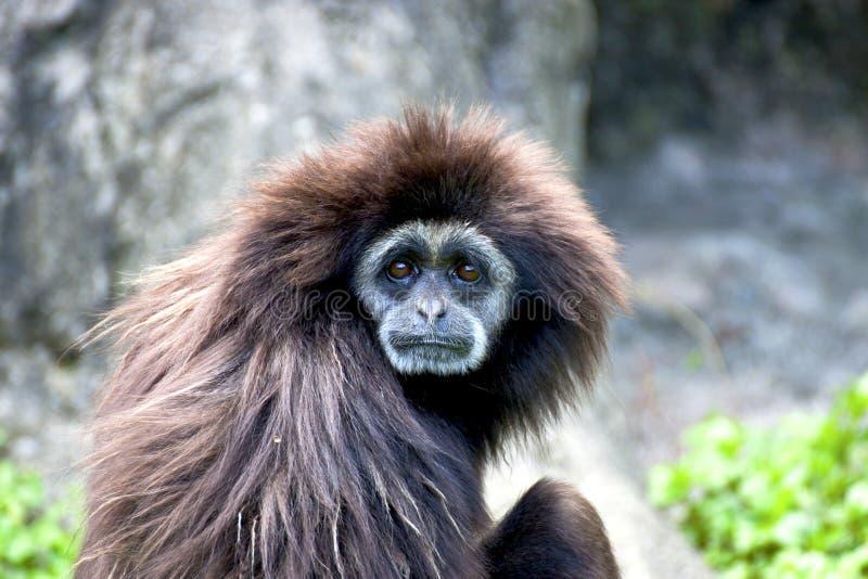 动物长臂猿递了空白野生生物 免版税库存图片