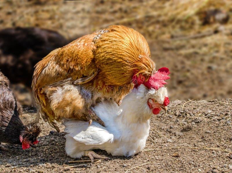 动物雄鸡践踏在农场的一只白色鸡 免版税库存图片