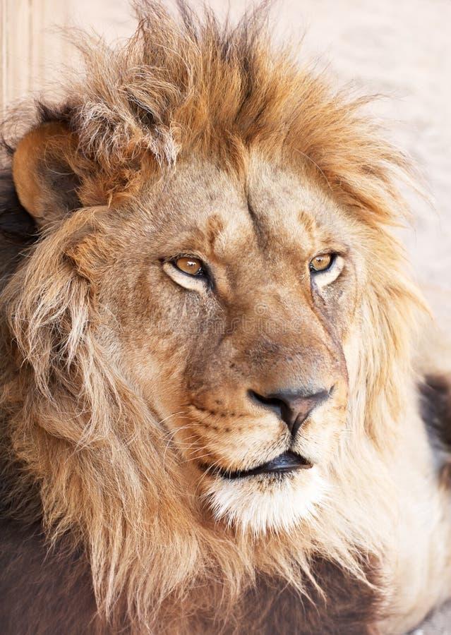 动物顶头狮子纵向 免版税库存图片